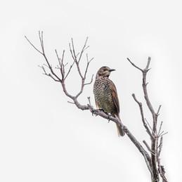Regent Bowerbird - Female