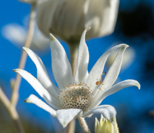 Flannel Flower with Petal Spider
