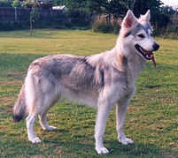 sylka northern-inuit dog - tamaskan germany