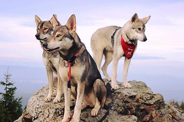 Worin liegt der Unterschied zwischen der F- und G-Kennzeichnung?  Die meisten Wolfshunde haben eine F-Kennzeichnung mit einer Nummer in Ihrem Stammbaum, damit man die Entfernung zum Wolf erkennen kann.   F1 bedeutet also eine Generation vom Wolf entfernt wobei viele Menschen bei einer F1 bis F5 kennzeichnung fälschlicherweise oft von einem Hybriden sprechen. Laut Gesetz sind wolfshunde erst nach der Generation F5 ein Haushund.  Anders beim Tamaskan, denn dort wird in einer G-Kennzeichnung die Entfernung zum Gründungstier angegeben.  Das Gründungstier ist beim Tamaskan ein Hund einer anderen Rasse (z.B. Husky,Schäferhund) oder ein Mischling. In der Vergangenheit wurden auch hochprozentige Wolfshunde ohne und mit genaur F-Kennzeichnung als Ursprungstier verwendet. Es gibt zurzeit kaum G3 oder höher gekennzeichnete Tamaskane , da die nahe Verwandtschaft der deutschen Tamaskane untereinander dies nicht zulässt. Bild (von links nach rechts) : Aleu G3 , Luna G1 & Nika G2