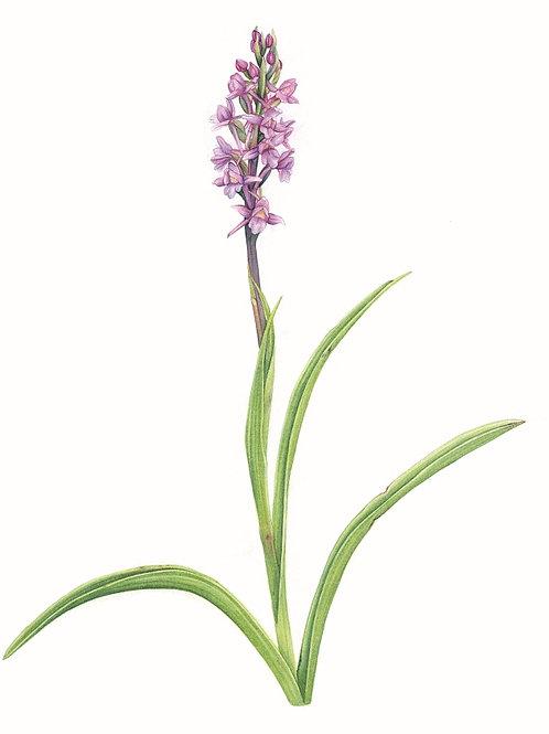 Fragrant Borealis Orchid illustration