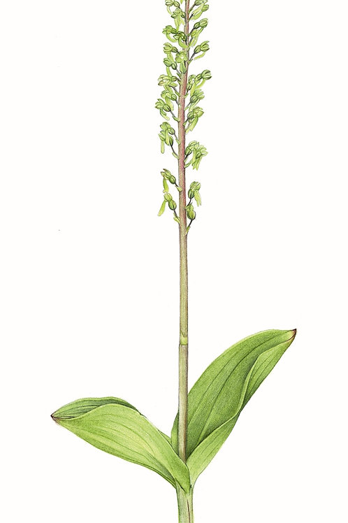Common Twayblade Orchid illustration