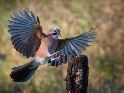 'Landing Jay' by Ted McKee - Commended