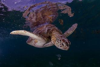 Turtles in Cozumel