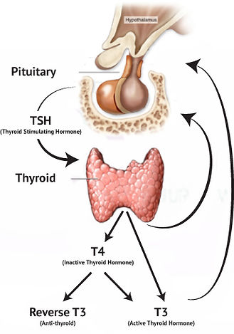 Thyroid Truths | Thyroid 101 | Thyroid health