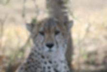 Cheetah Botswana Africa Savannah Wild An