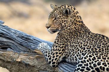 A leopard stars towards the camera in Bo