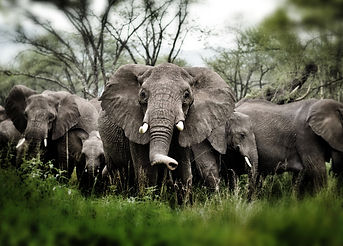 Herd of Elephants , Serengeti natural pa