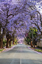Jacaranda trees in Johannesburg.jpg