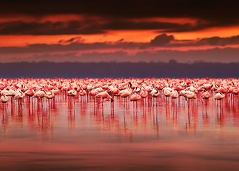 African flamingos in the lake over beaut