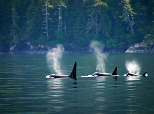 Killer whales_ three orcas in a row at T