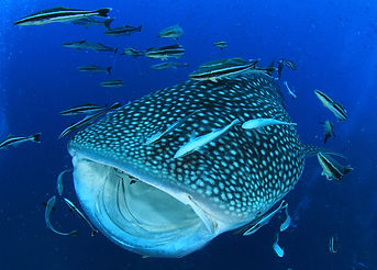 Whale Shark with mouth open.jpg