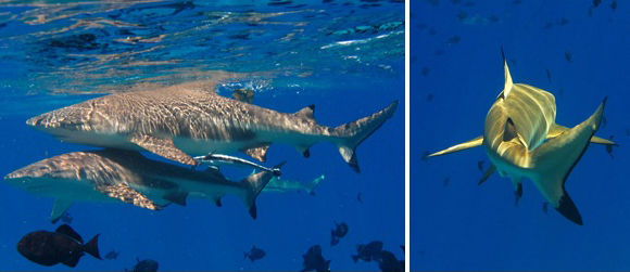 Swimming with sharks in Bora Bora