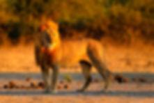 African lion, Panthera leo, detail portr