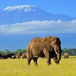 Male elephant in amboseli national park,