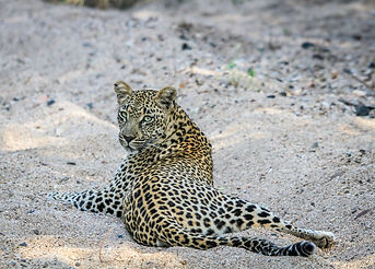 Leopard Laying In The Sand..jpg
