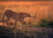 Cheetah during dusk in Savannah grasslan