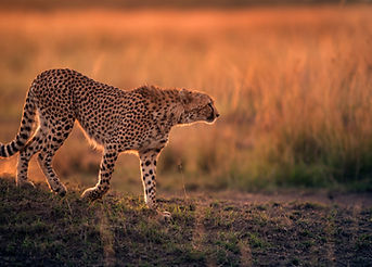 Cheetah during dusk in Savannah grasslan