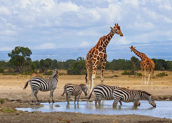 Reticulated giraffes queue at waterhole