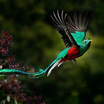 Flying Resplendent Quetzal, Pharomachrus