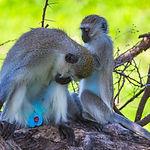 Vervet Monkey. Tarangire ational Park. T