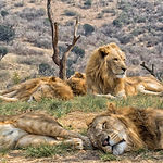 pride of lions resting (south africa).jp
