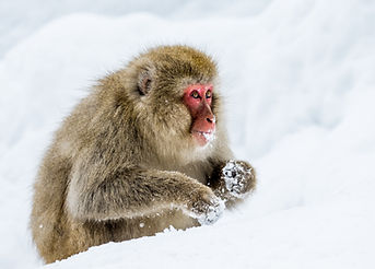 Japanese macaque sitting in the snow. Ja