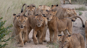 A pride of lions at Sabi Sands Game Rese