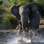 Have angered. The river Zambezi. Zambia.