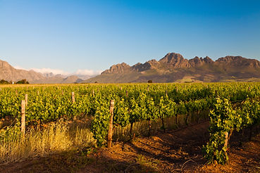 Vineyard In The Hills Of South Africa.jp