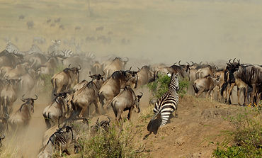 Wildebeest crossing the Mara river durin