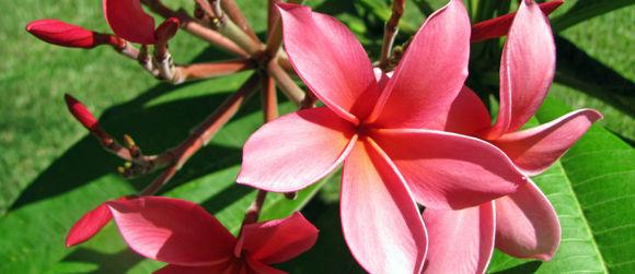 Plumeria Flowers of French Polynesia