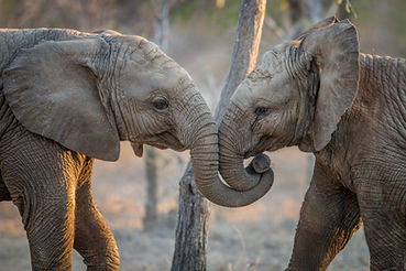 Elephants Playing In The Kruger..jpg