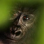 The mountain gorilla (Gorilla beringei b
