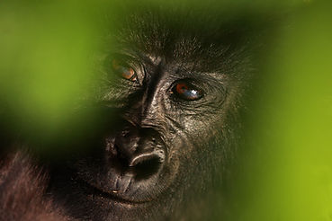 The mountain gorilla (Gorilla beringei b