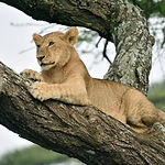 African lion resting  in tree in natural