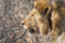 Large old male lion with tracking collar