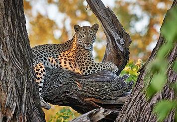 female Leopard (Panthera pardus), Chitab