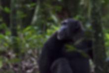 Uganda Kibale Chimpanzee.jpg