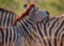 Two Bonding Zebras..jpg