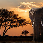 Africa Sunset Over Acacia Tree And Eleph