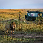 Beautiful lion with a safari car in the