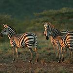 Plains zebra (Equus burchelli), Mpala Re