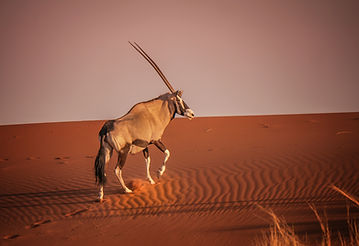 Oryx climbing red sand dune in Sossusvle