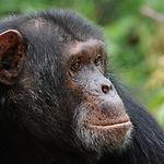 Chimpanzee at Sweetwaters Chimpanzee San