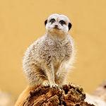 Meerkat sitting and facing camera.jpg