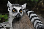 A thinking lemur.jpg