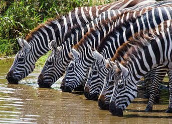 Several zebras drinking water from the r