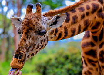 Giraffe being fed pellets at The Giraffe