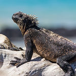 Marine iguana, Galapagos.jpg